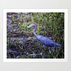 Little Blue Heron Strut Art Print