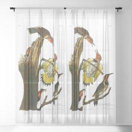 Gold Winged Woodpecker, Woodpecker, John Audubon Birds of North America Antique Print, No 8, Plate 37 Sheer Curtain