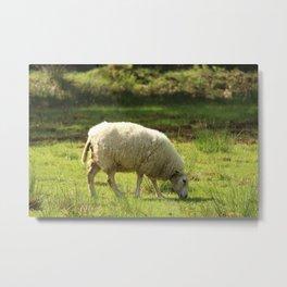 Grazing White Sheep Metal Print