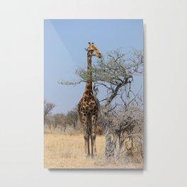 NAMIBIA ... eating giraffe Metal Print