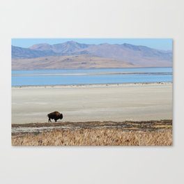Bison at Antelope Island State Park Canvas Print