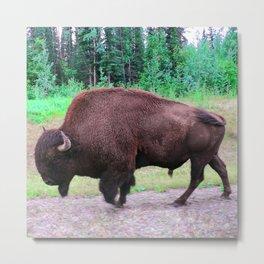 Northern Bison Metal Print