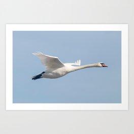 Mute Swan in flight blue sky (Cygnus olor) Art Print