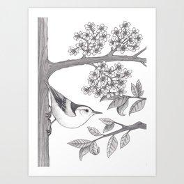 Nuthatch on an Almond Tree Art Print