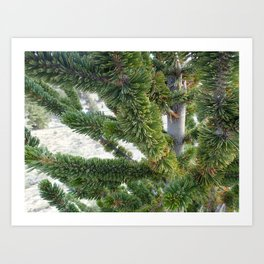 Bristlecone pine needles Art Print