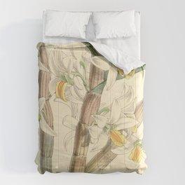 Dendrobium scabrilingue (as Dendrobium hedyosmum) Curtis' 91 (Ser. 3 no. 21) pl. 5515 (1865) Comforters