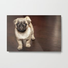 Pug puppy on wooden floor Metal Print