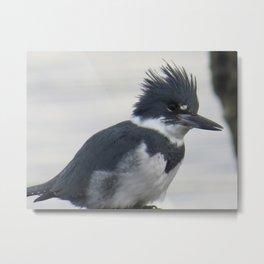 Belted Kingfisher at Ruston Way Metal Print