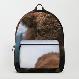 Scottish Highland Cattle Calves - Babies playing Backpack