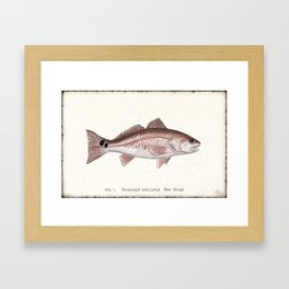 """Redfish"" by Amber Marine - (Red Drum) Sciaenops ocellatus ~Watercolor Illustration,(Copyright 2013) Framed Art Print"