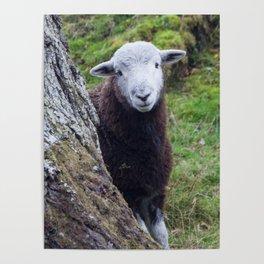 Herdwick Sheep Poster