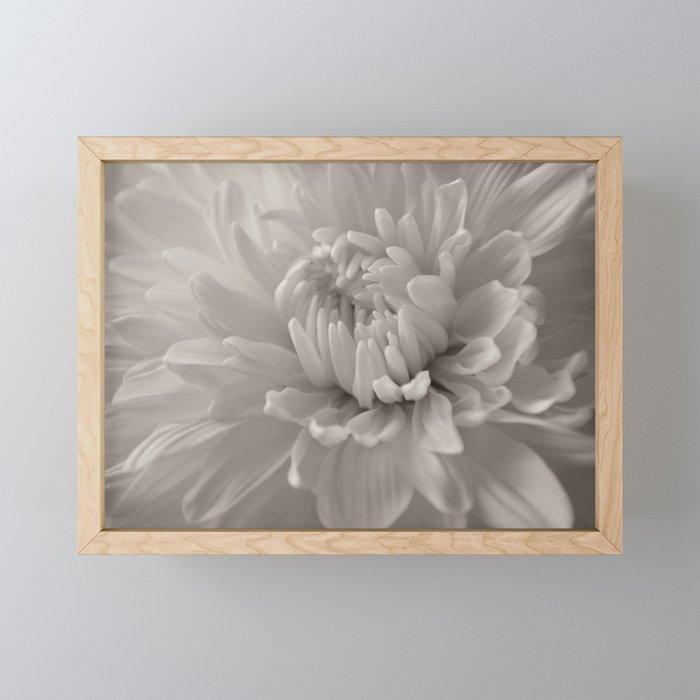 Monochrome chrysanthemum close-up Framed Mini Art Print