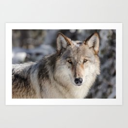 Wolf in the Snowy Woods Hunting Art Print