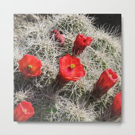 A Hedgehog Cactus Looks Sunward Metal Print