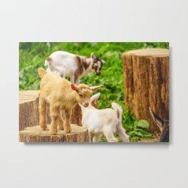 Baby Goats Playing Metal Print