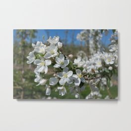 white apple blossoms Metal Print