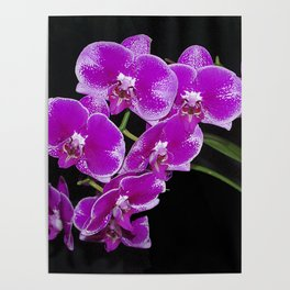 Graceful spray of deep pink orchids Poster