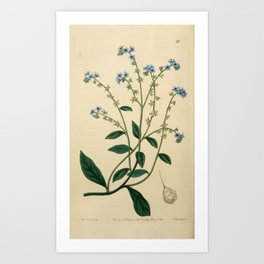 Flower 015 cynoglossum glochidiatum Burry Houndstongue25 Art Print