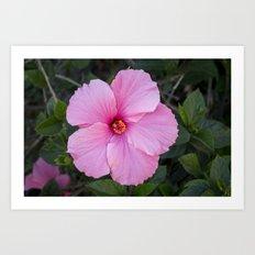 Single Pink Hibiscus Art Print