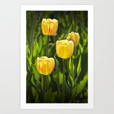 Dutch Yellow Tulip Flowers on Windmill Island in Holland Michigan during Tulip Time Festival Art Print