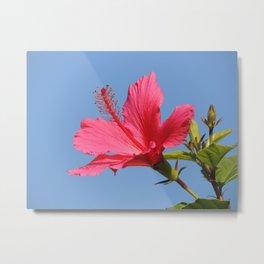 The Neighbor's Pink Hibiscus Metal Print