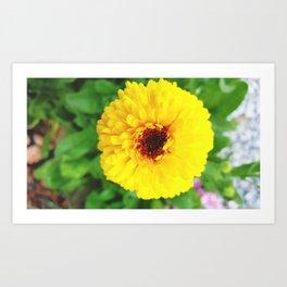 Calendula Officinalis 003 Art Print