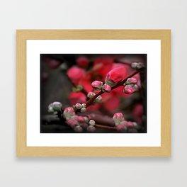 Japanese Red Quince Framed Art Print