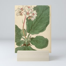 Flower 3406 saxifraga ligulata Fringe leaved Saxifrage1 Mini Art Print