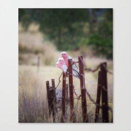 Australian Pink Galahs, Gunnedah, NSW, Australia Canvas Print