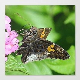 moth feeding Canvas Print