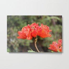 African Tulip Tree Flower Metal Print
