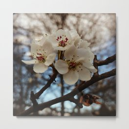 Spring, mock orange blossoms Metal Print
