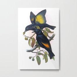Rawnsley's Bowerbird, bird in the nature of Australia Metal Print