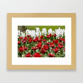 Red Tulip Field with White Hyacinth Flowers Blooming in the Background in Amsterdam, Netherlands Framed Art Print