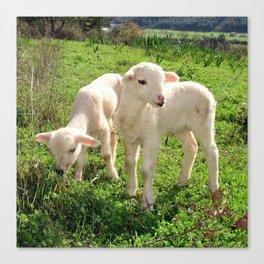 Spring Lambs Grazing On Farmland Canvas Print