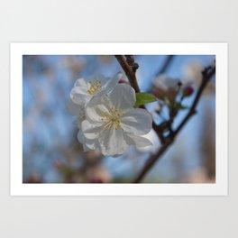 White Crabapple blossoms Art Print