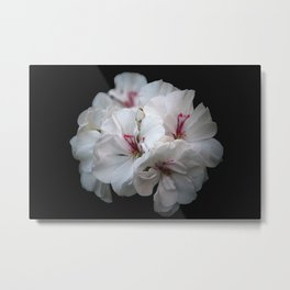 White geranium Metal Print