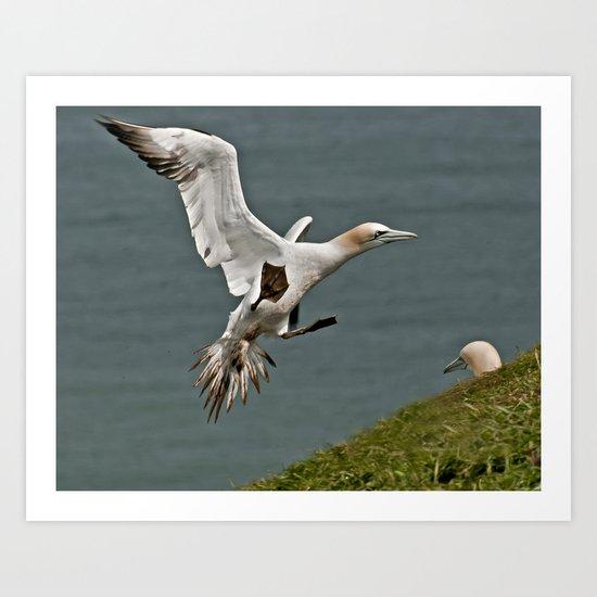 Gannet Landing Art Print
