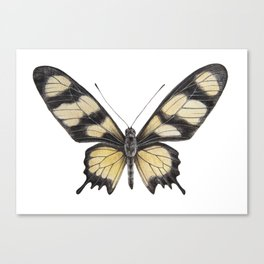 Butterfly | Swallowtail | Amazon | Painting | Exotic | Insect Canvas Print