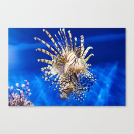 Poisonous lionfish in blue water sea Canvas Print