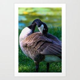 Resting Goose Art Print