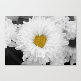 White chrysanthemum flower in full bloom with heart shaped center. Canvas Print