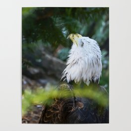Looking Up American Bold Eagle Poster