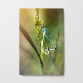 Two Dragonfly insect mating perched on stem of weed Metal Print