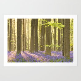 Blooming bluebell forest of Hallerbos in Belgium in morning sunlight Art Print
