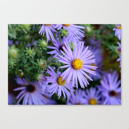 Hardy Blue Aster Flowers Canvas Print