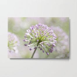 Allium - Onion Flower 2 Metal Print