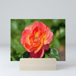 Pink Double Knock Out Rose Mini Art Print