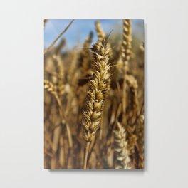 Ear of wheat Metal Print