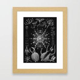 Ernst Haeckel - Phaeodaria Framed Art Print